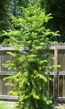 Bonsais abeto chino, Cunninghamia Lanceolata, robustos, ideales! Hermoso abeto! 🍃