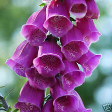 Digitalis Gloxinaefolia Seed Perennial Deep Pink Good Cut Flower Bird Attracting