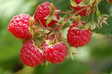 3 Wild Red Raspberry Live Bare root plant -Fruit, Jelly, Wine! Bush/shrub