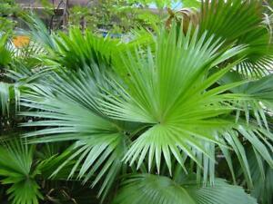 Seeds Fountain Fan Palm Chinese Livistona Tree Plant Fast-Grow Perennial Ukraine