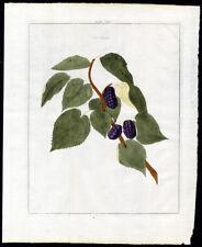 Antique Print-MORUS-MULBERRY-Pomologia-Knoop-1758