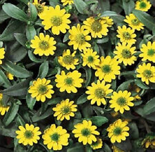 200 Creeping Zinnia Seeds Sanvitalia Procumbens Flower Seeds