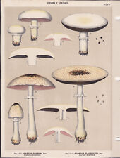 MUSHROOM PRINT. Edible Fungi Of New York. Circa 1900 ~Agaricus Rodman~
