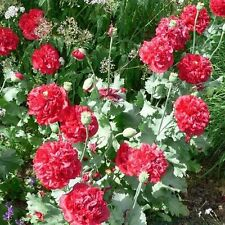 Peony Poppy - (Papaver Paeoniflorum) -  Red - 100 seeds