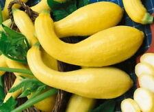 150 Heirloom Golden Summer Yellow Crookneck Squash Seeds + Gift - COMB S/H