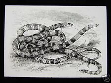 Glass Magic Lantern Slide A PAIR OF SNAKES C1900 PENCIL DRAWING