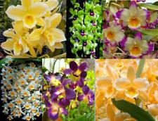 3+ Live Plants Dendrobium Orchids + Easy Watering Pots