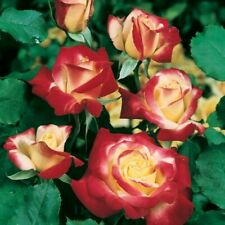 Bush Roses - 1 y/o - Potted - Double Delight - local delivery only, see note