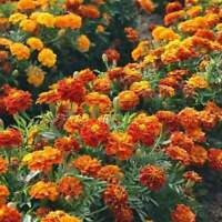 """French Marigold SPARKY MIX 12-14"""" FIERY Good for Beneficial insects 100 Seeds"""