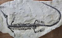 Amazing, Museum Quality Mesosaurus Brasiliensis Dinosaur Fossil Best Of The Best