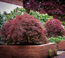 Red Dragon Weeping Japanese Maple - Live Plant - Trade Gallon Pot