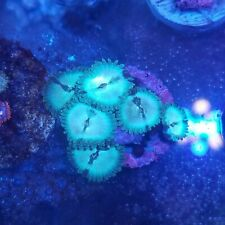 Hawaiian People Eater Zoanthid - Zoas - Sps - Lps - Live Coral - reef 1-2 Polyps