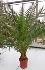 Phoenix canariensis Canarie dattel Palma Palma 165-195cm + CEPPO stanza pianta