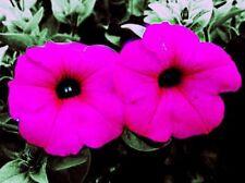 1000 SHANIN PETUNIA Integrifolia Violacea Pink Purple Wild Flower Seeds *CombS/H