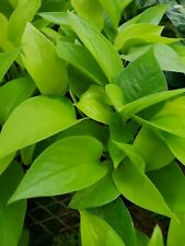 """Hard To Find Neon Pothos Plant 4"""" Pot Amazing Color Air Purifying Indoor plant"""