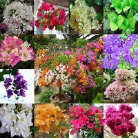 50pcs Mixed Color Bougainvillea Bonsai Flower Plant Seeds Home Garden Decor
