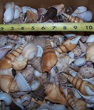 1 Gallon Large Indian Ocean Mixed Shells Seashells fish tank Item # Gml-4