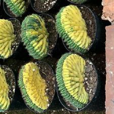 Variegated cactus Succulent plants potted Garden decoration Plants 7-9cm