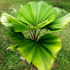Licuala Cordate Seeds 40+ Rare Round Mellow Leaves Perennial Plants Home Garden