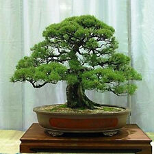 Forest Oak (Allocasuarina torulosa) Feature/Bonsai Seeds