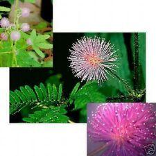 Mimose, die soziale Blume: erwidert Ihre Berührung !