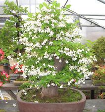 ultra rare bonsai seeds -- styrax formosana stunning