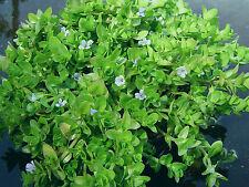 POND / AQUARIUM / WATER PLANT - Bacopa Caroliniana, healthy plant with roots