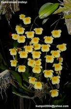 Orchid specie seeds: Dendrobium lindleyi - Year 2017
