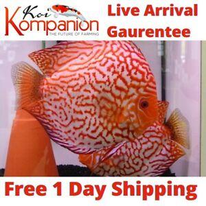 "1/2/3X Pigeon Blood Discus Fish 2-3"" Aquarium Koi Kompanion Free 1 Day Shipping"