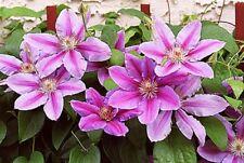 3 Clematis Hybrid 'Nelly Moser' Large Flowering Plug Plant climbing shrub