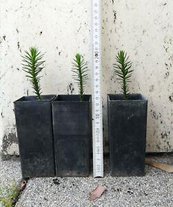 3 junge selbstgezogene Araucaria araucana Schmucktanne