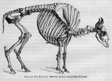 SKELETT ANATOMIE WISENT Holzstich von 1891