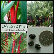 20 LIPSTICK PALM SEEDS (Cyrtostachys renda) Rare Colourful Tropical Indoor Plant
