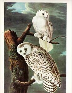 Audubon's Snowy Owl   >Classic Art   >Large 16x12
