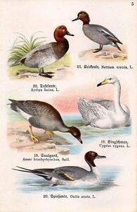 1910 SCHREIBER ATLAS CHROMO Birds: pochard, teal, pintail, mute swan, goose