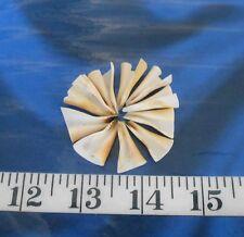 ~ Sliced Strombus Shells ~ 10 Trumpet Cuts ~ Shellcraft ~ Sailor's Valentines ~