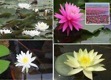 Seerosen Set weiß rosa gelb Teichdeko Deko für den Teich Dekoration Gartenteich