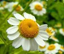 Roman Chamomile Chamaemelum Nobile 1500 seeds * perennial * Herb * CombSH