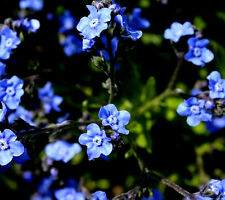 120 Graines de Cynoglossum Bleu / Myosotis de Chine / Langue de Chien