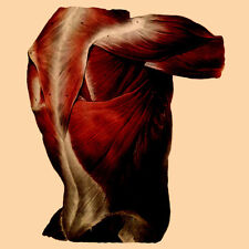 Anatomical Greeting Card Re-imagined Vintage  Image Muscles of the Back Anatomy
