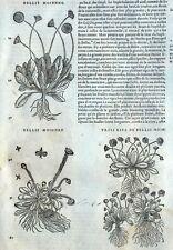 Flor Bellis Pivoine Botánica Matthioli Mattioli Matthiole Dioscorides