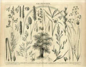 1882 BAMBOO GRASSES CEREALS PLANTS COW-QUAKE ASIAN RICE Antique Engraving Print