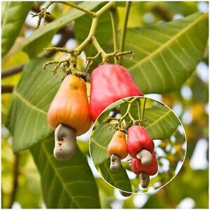 10+ Cashew Nut  Fruit Garden Planting seeds Anacardium Occidentale