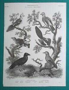 BIRDS Ornithology Raven Magpie Nutcracker Jay - 1820 A. REES Antique Print