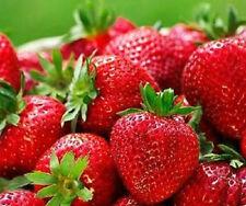 Quinualt Strawberry -Fragaria x ananassa 'Quinault' live Strawberry plant