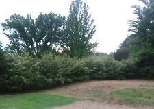 "100+ Old Fashioned White Spiraea"" Spirea Cuttings Fast, Easy Privacy Hedge"