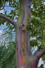 30 Samen Regenbogen Eukalyptus Baum Samen Eucalyptus degluptaEinzigartig