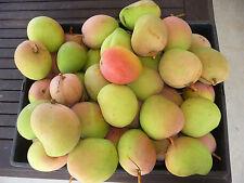 "Exotic,collectable,Fruit Tree Mangifera indica ""Bowen/Kensington Pride"" Mango"
