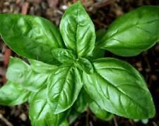 ORGANIC-NON-GMO-GENOVESE BASIL 100+herb seed Heavy,spicy taste and smell