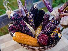 Gemüse Mais Mix, Popmais Saatgut 50+ Samen aus Eigenanbau